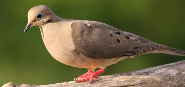 Mourning Dove Call