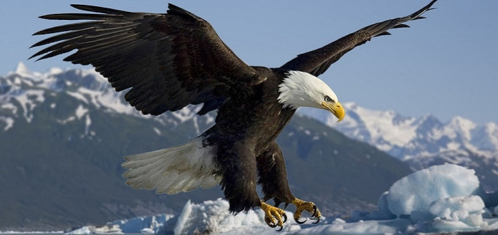 Eagle Ringtone | Free Ringtones Download | Animal Ringtones