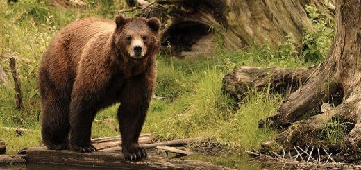 Bear Sounds   www.RedRingtones.com