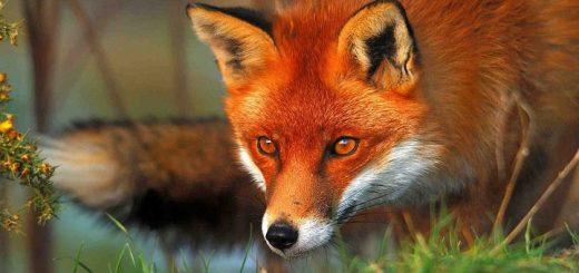 Fox Calls | www.redRingtones.com