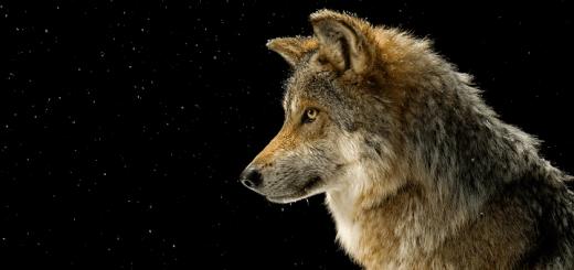 Wolf Howl Sound | www.RedRingtones.com