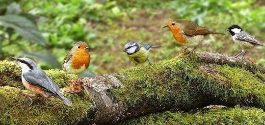 Forest Birds | www.RedRingtones.com