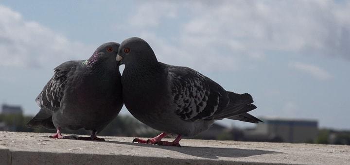 Pigeons Ringtone   www.RedRingtones.com