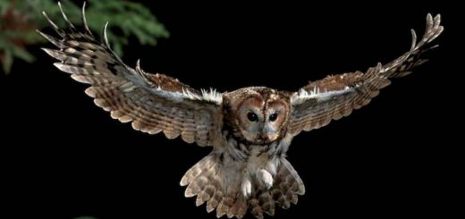 Owl Hooting At Night Ringtone