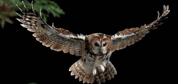 Owl Hooting At Night Ringtone