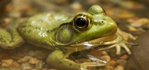 Frog Sound Ringtone