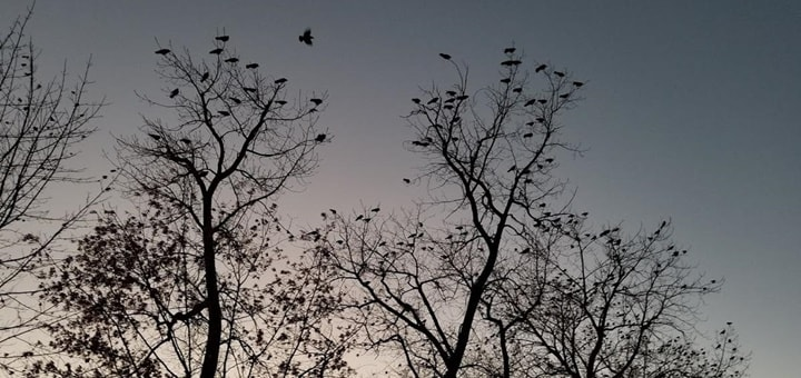 Crows in the Morning Ringtone