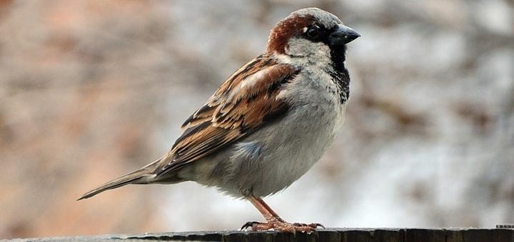 House Sparrow Ringtone