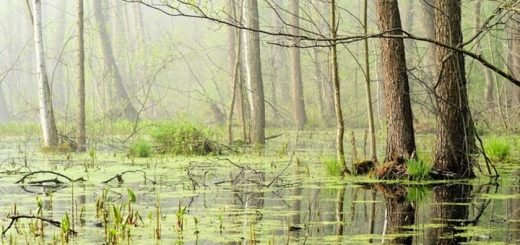 Swamp Ringtone