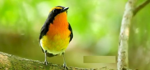 Forest Birds Ringtone