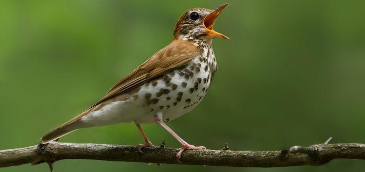 Bird Chirp Notification Sound