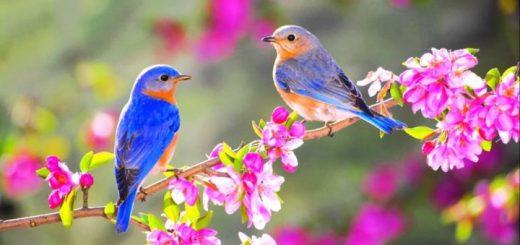 Spring Birds Ringtone