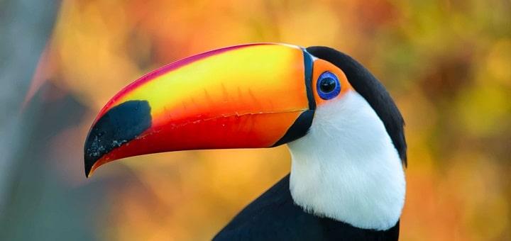 Toucan Ringtone