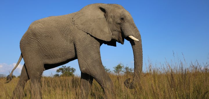 Elephant Ringtone | Free Sound Effects For Your Mobile
