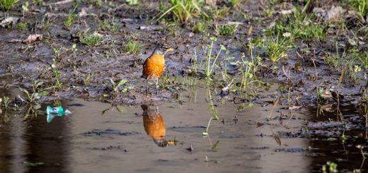 Water Birds Ringtone