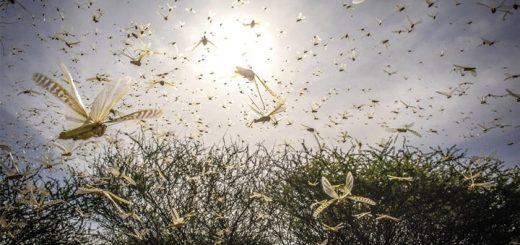 Locust Ringtone