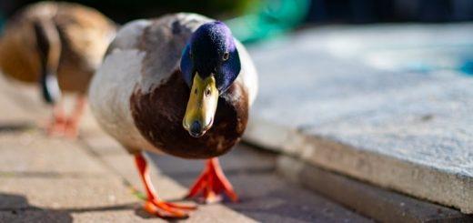 Duck Quack Ringtone