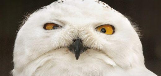 Hedwig Ringtone
