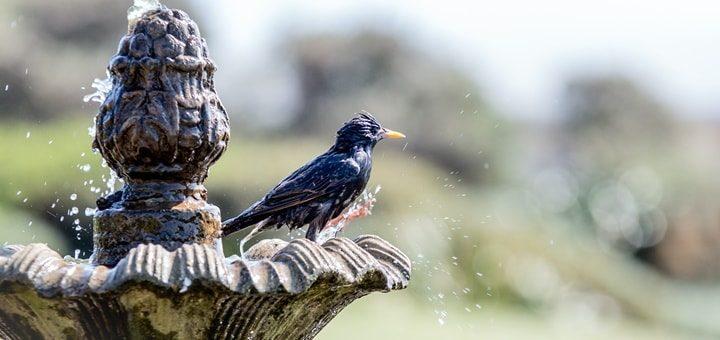 Starling Birds Ringtone
