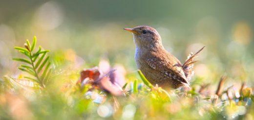 birds ringtone