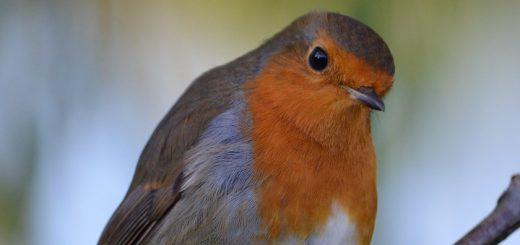 bird chirp sound