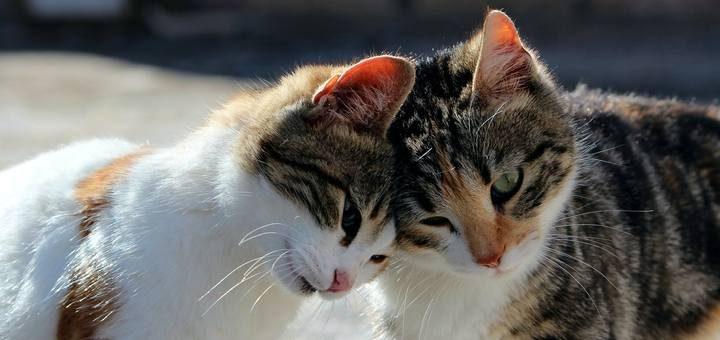 cat message ringtone