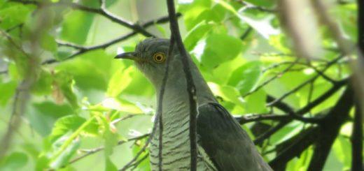 cuckoo bird sound effect
